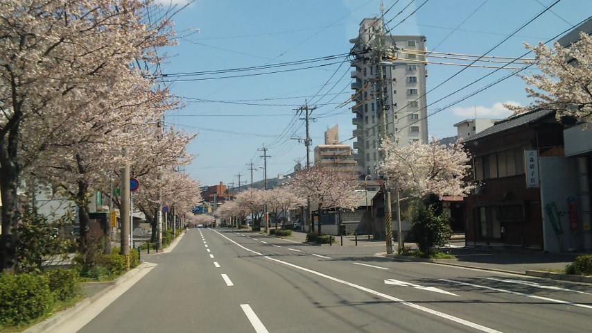 日本国内、町のあちらこちらに桜は植えられています。