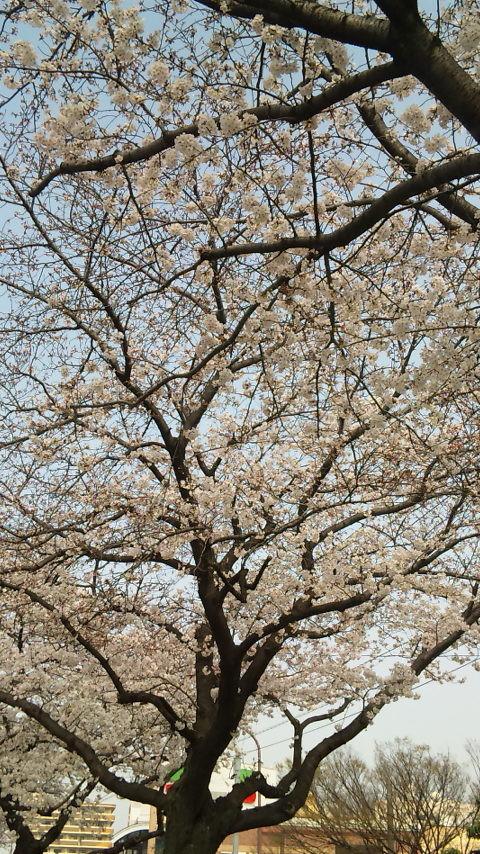 さくら通りの桜並木。