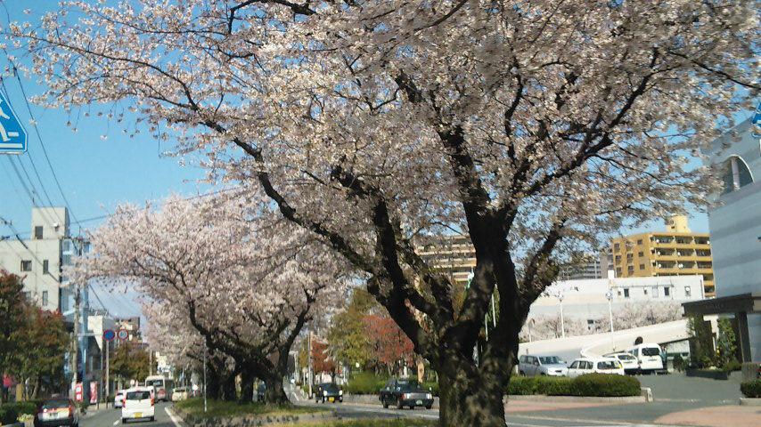 街路樹として植えられたさくら!