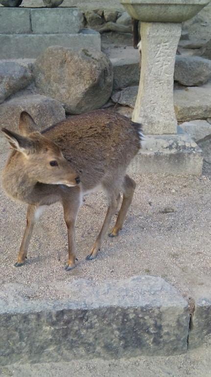 神の使い・・・いたるところに野生の鹿が・・・・