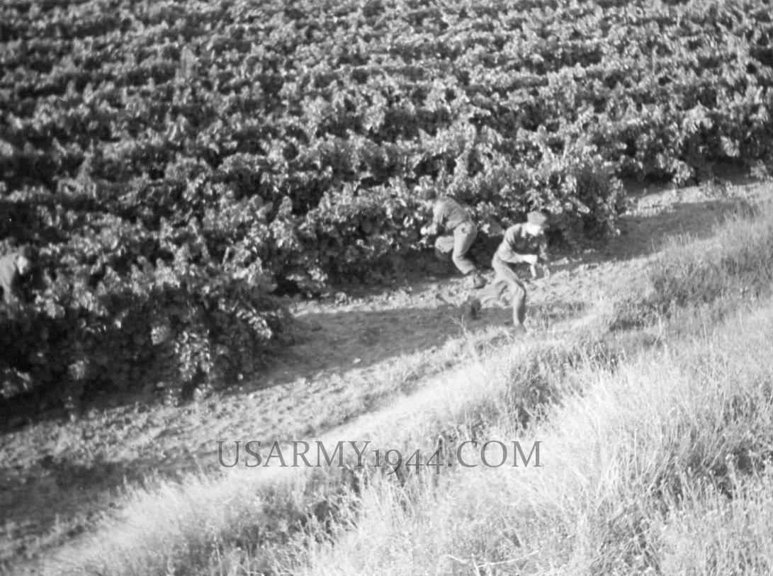 Rubacchiando l'uva 1945