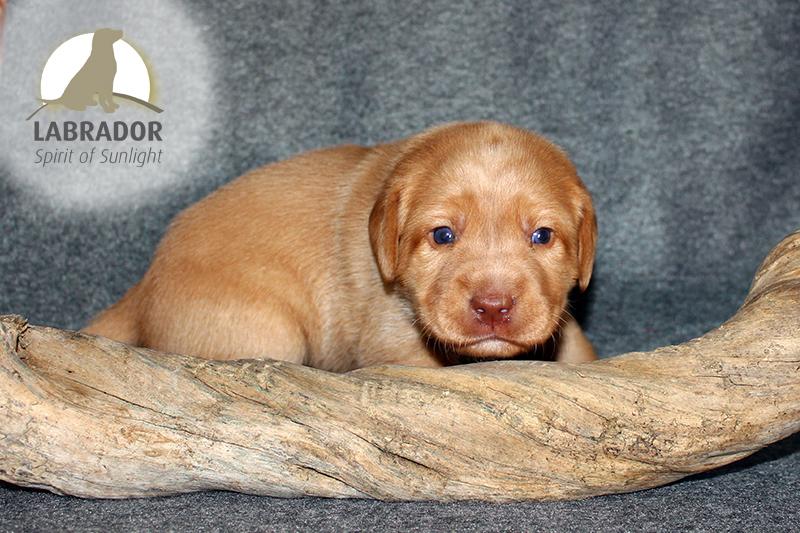 Foxred Labrador Welpen