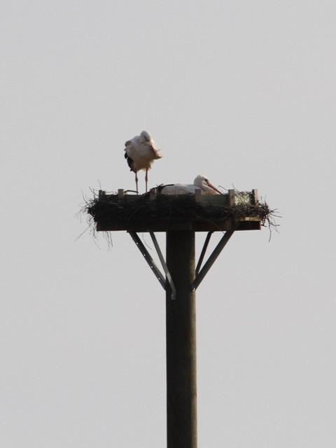 01.04.13 Weißstorchpaar auf dem Kunsthorst im Fronhäuser Ried - Foto: Alfred Müller