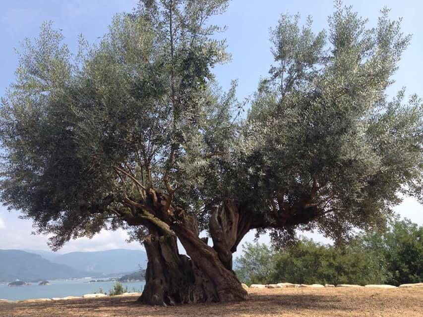 樹齢千年のオリーブ大樹(小豆島)