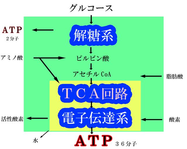 ミトコンドリアによる「ATP(アデノシン3リン酸)」