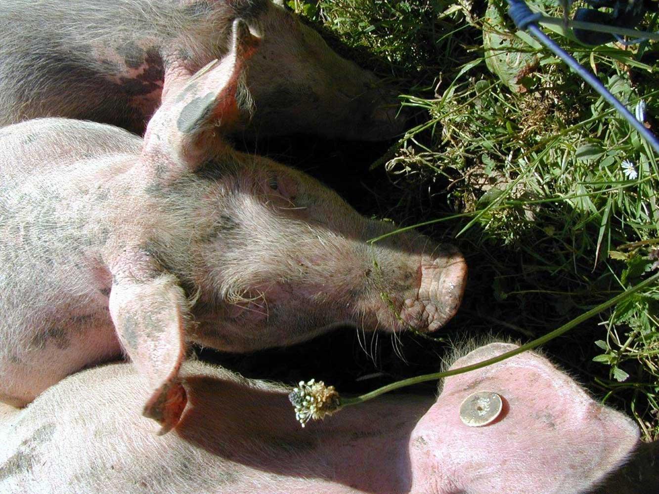 Innere Wiesalpe – unsere Schweinle