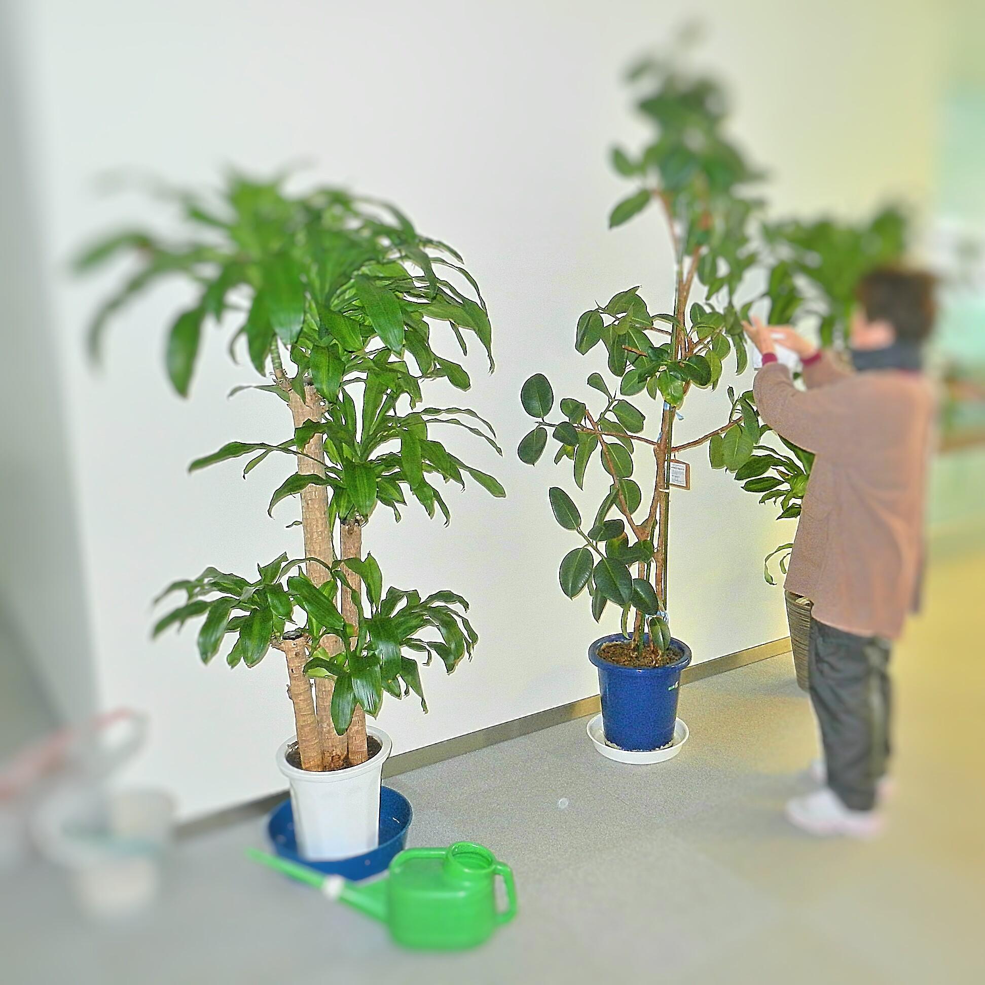 観葉植物管理 (ゴムの木&マッサン)