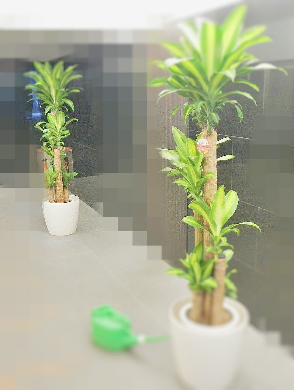 定期 観葉植物換え After