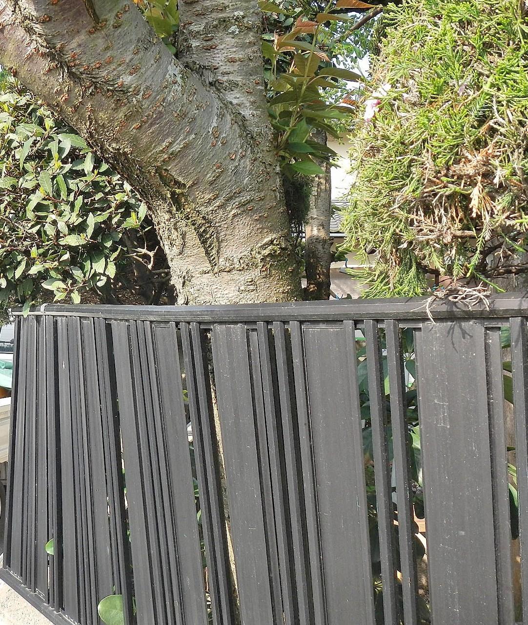 基礎からフェンスを八重桜が押している様子
