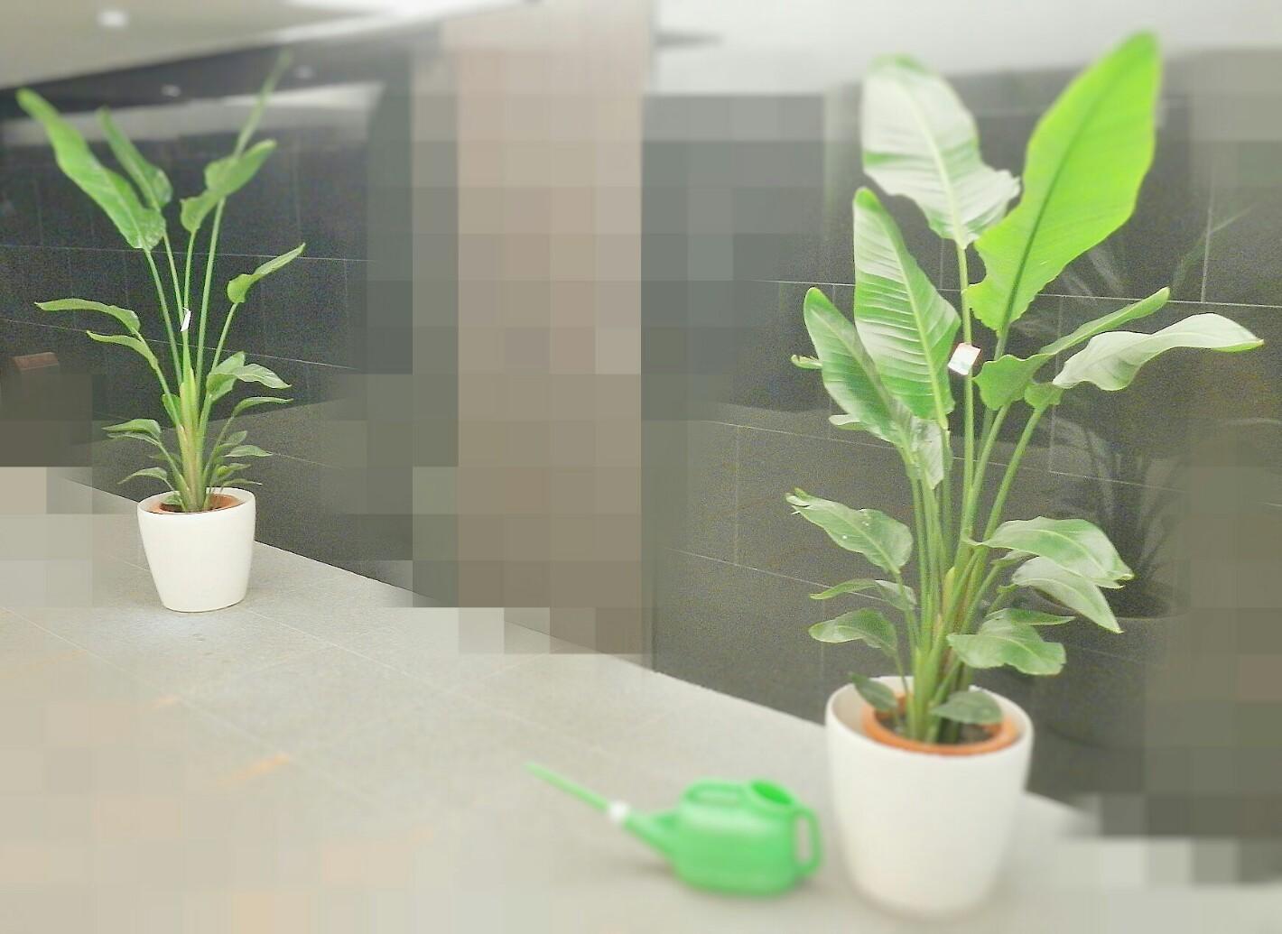 定期 観葉植物換え Before