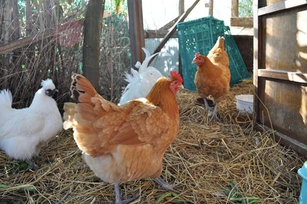 動物由来の肥料は使用するにしても最低限の鶏フンのみです。(2015年までは使用せず)