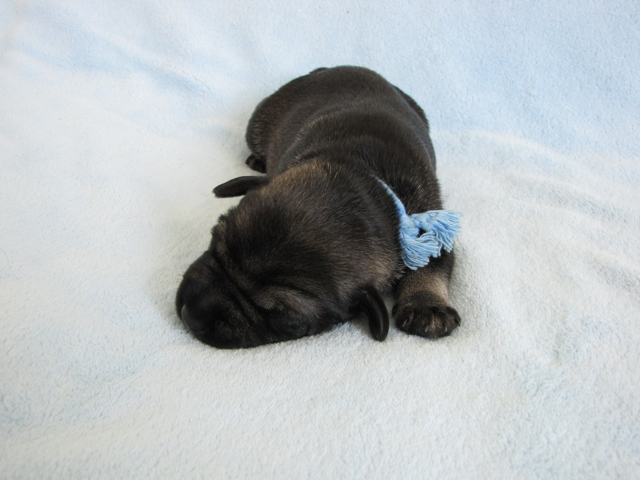 Rüde mit blauem Band