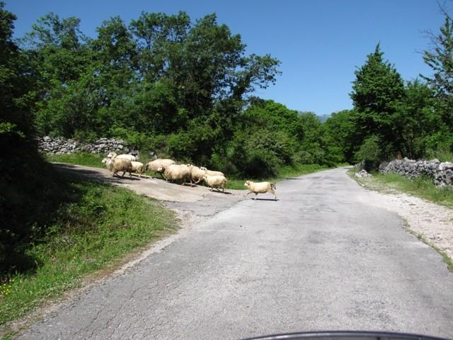 Schafe kreuzen immer wieder den Weg