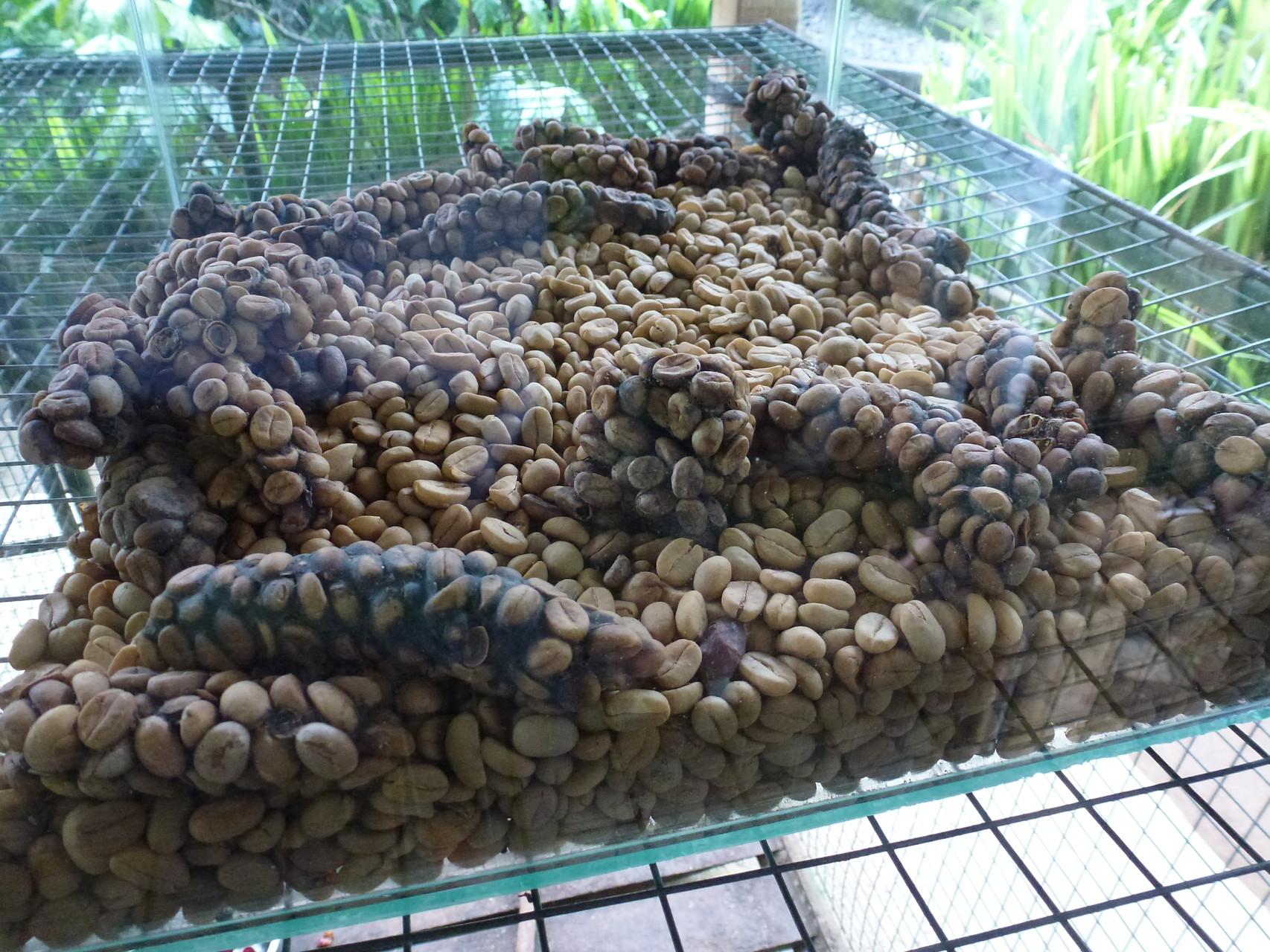 Unverdaut ausgeschiedene Kaffeebohnen vor der Reinigung und Röstung