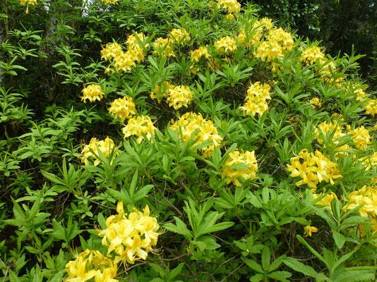 Bild: Rhododendron