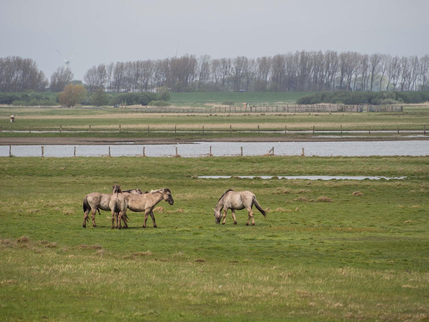 Konik-Pferde