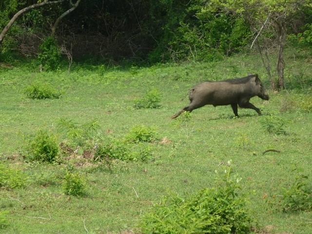 Walzenschwein - Warthog