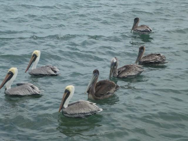 Bild: Pelikane