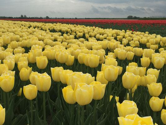 Gelbes Tulpenanbaufeld in Flavoland in den Niederlanden