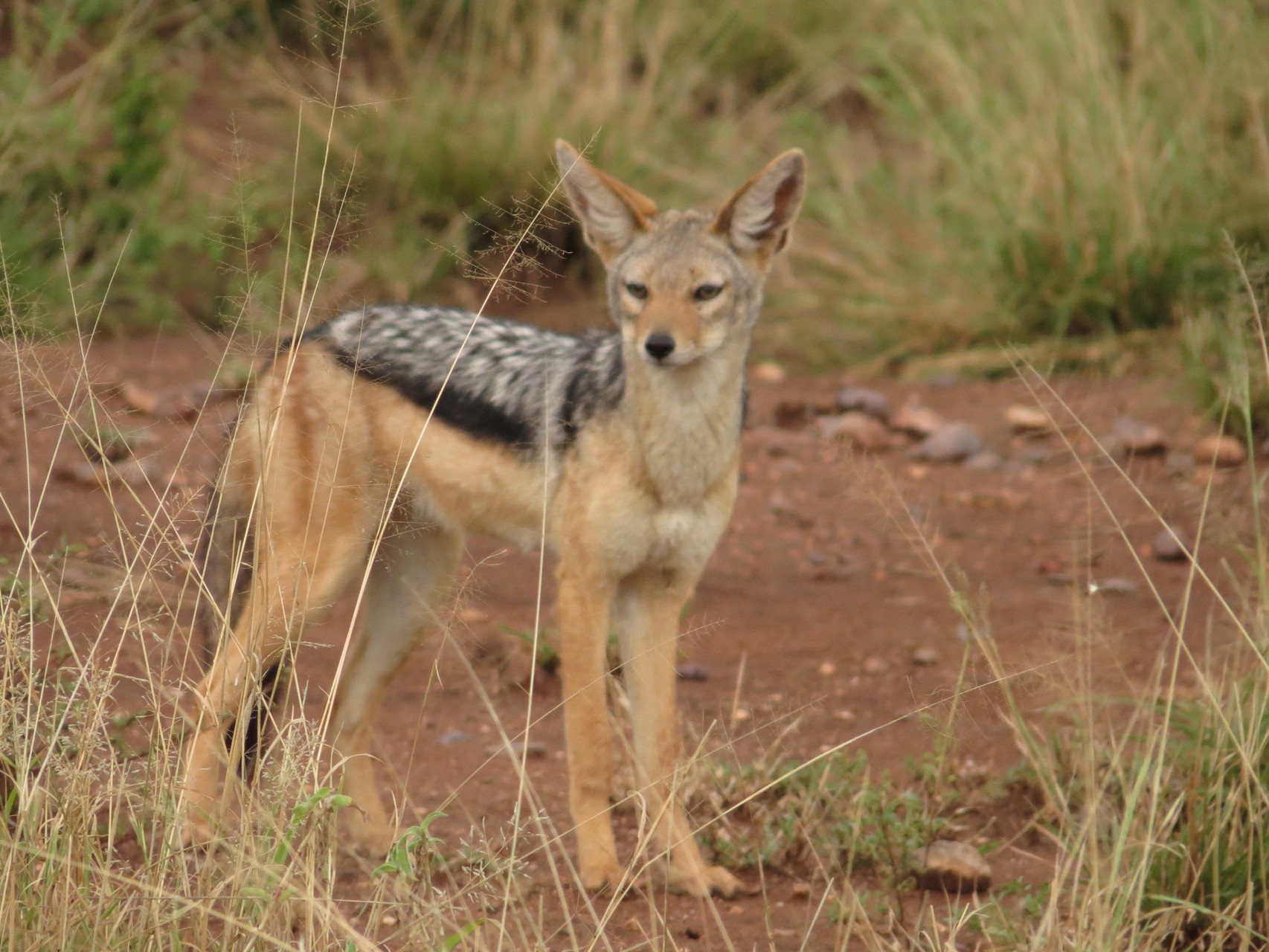 Schabrakenschakal - Black-backed Jackal