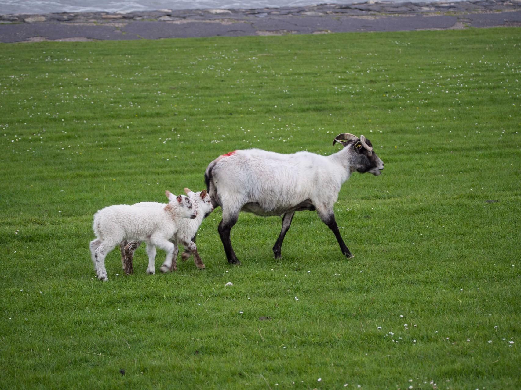 Schafziegen