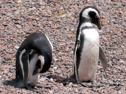 Bild: Pinguine