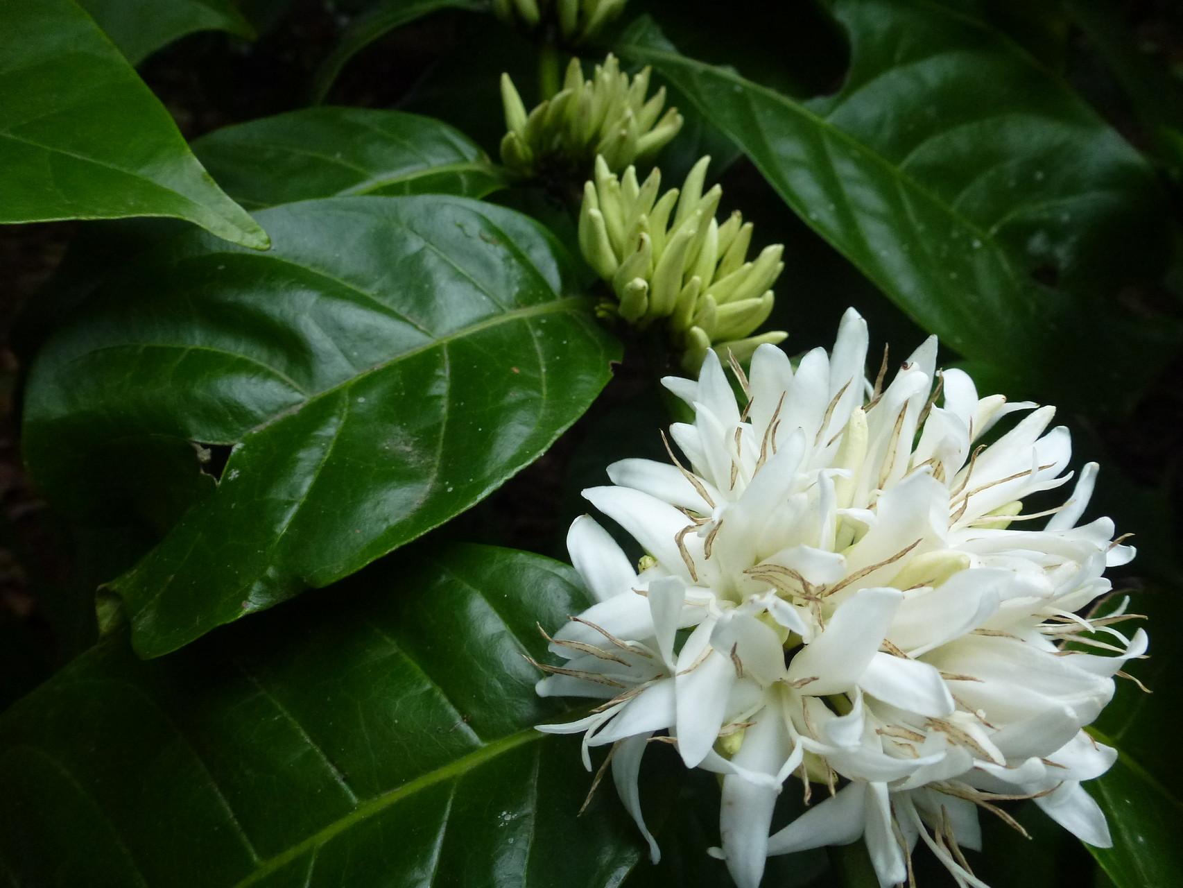 Kaffeeblüten