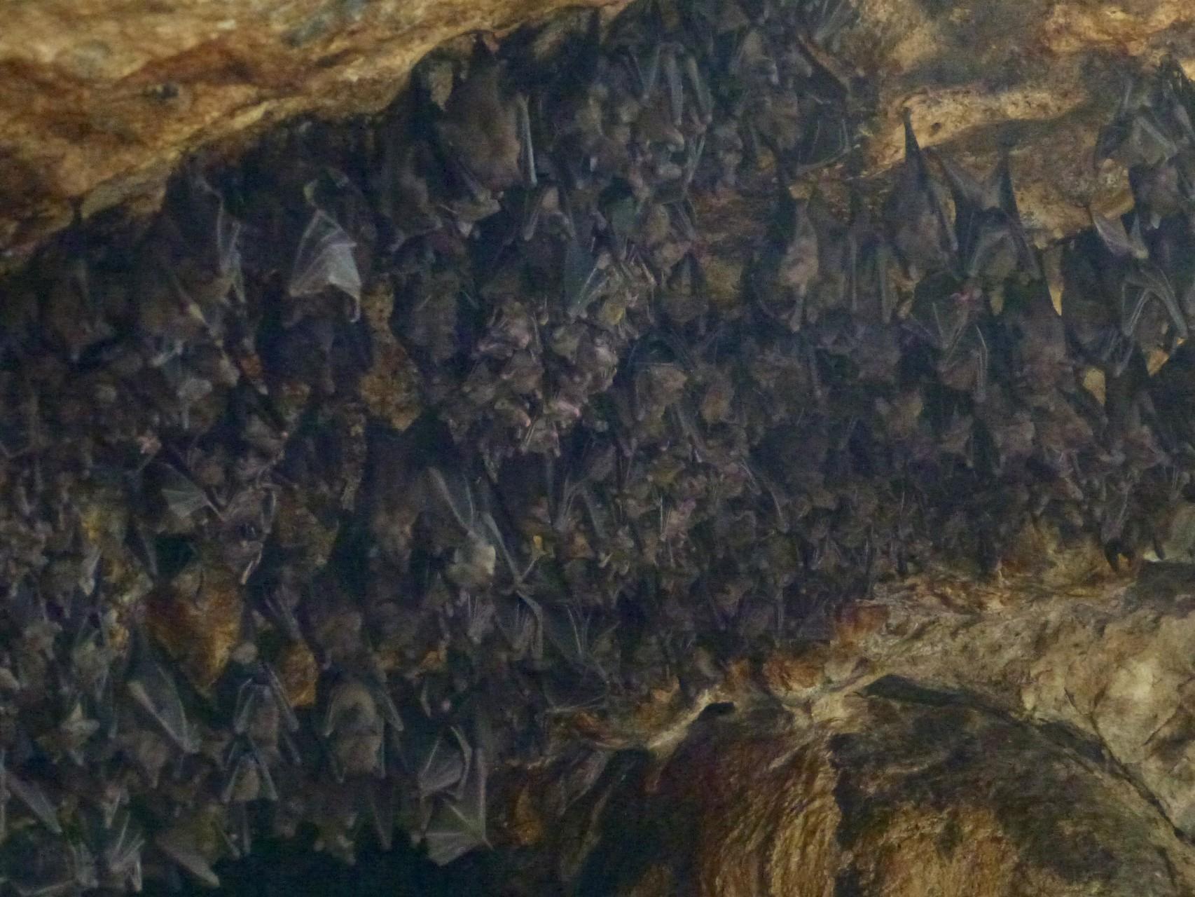 Viele Fledermäuse hängen am Höhleneingang
