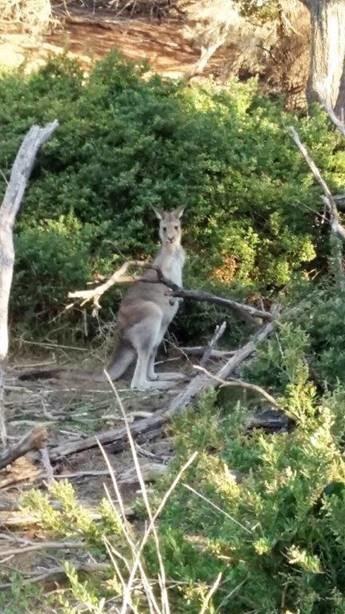 Bild: Känguru