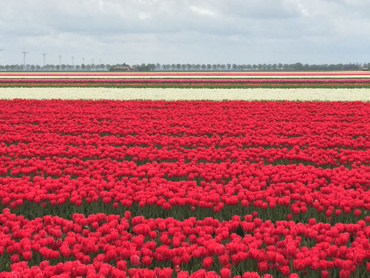 Tulpenanbaufeld in Flavoland in den Niederlanden