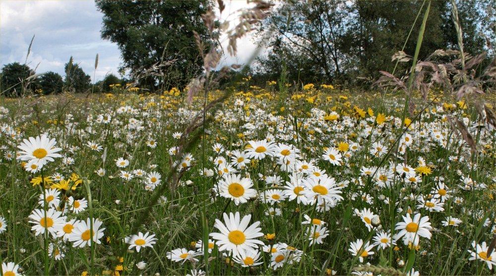 Das Ziel sind arten- und blütenreiche Wiesen und Weiden, die weiterhin landwirtschsftlich genutzt werden können und müssen (Bild: Einsaatfläche aus 2015 in der Siegaue, Bild: K. Weddeling)