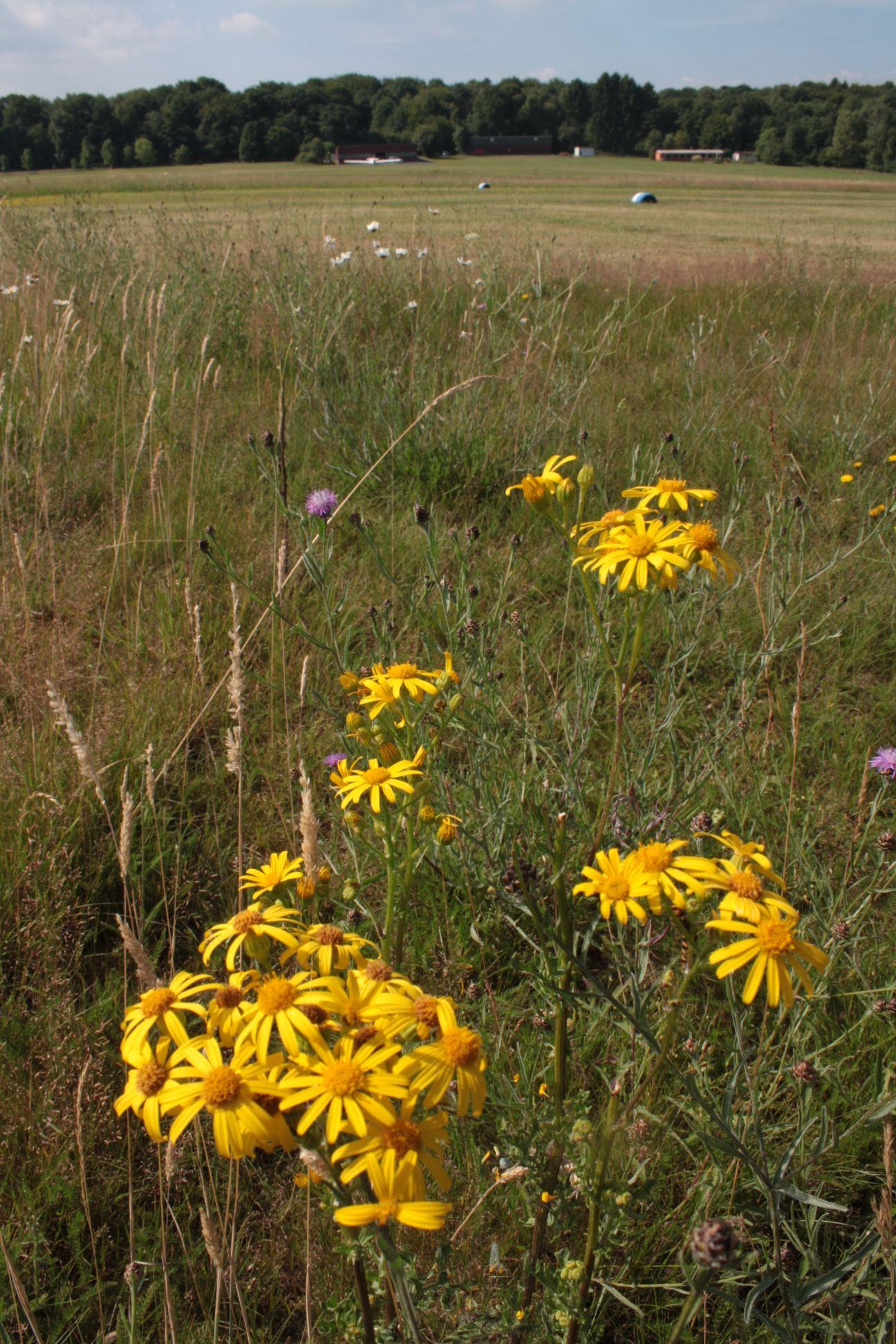 Blüten des Jakobskreuzkrautes (Bild: K. Weddeling)