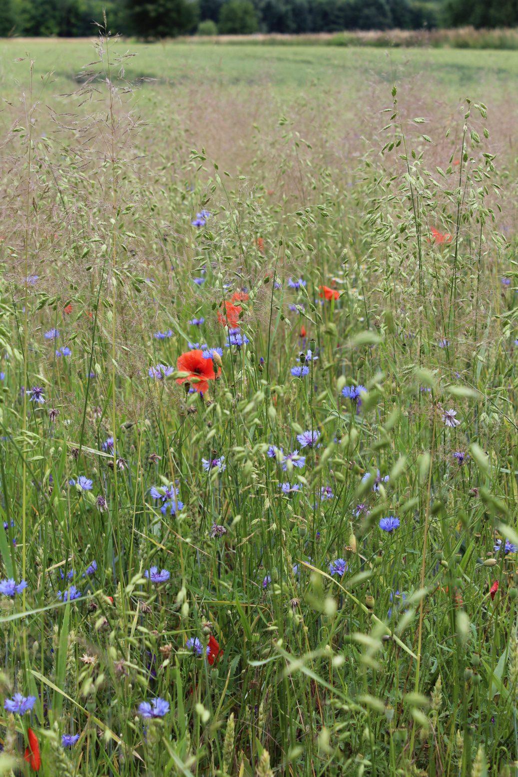 Blühaspekt (Bild: K. Weddeling)