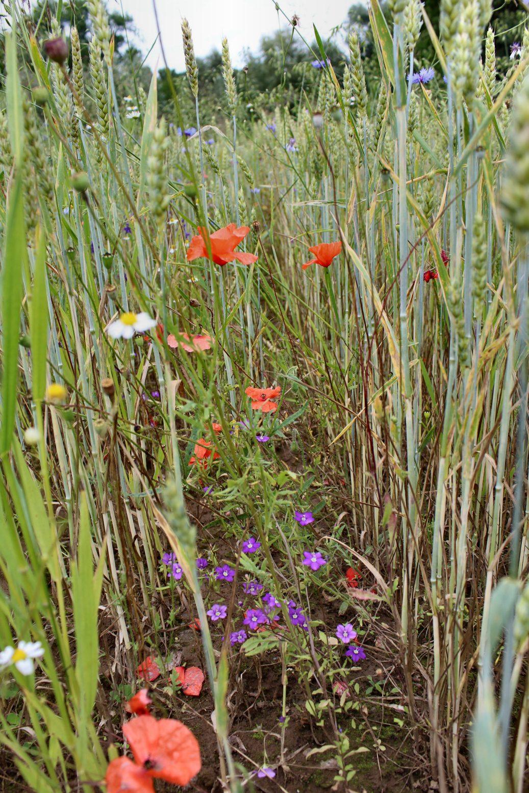 Blumenbunt zwischen dem Getreide: Kamille, Frauenspiegel, Mohn (Bild: K. Weddeling)
