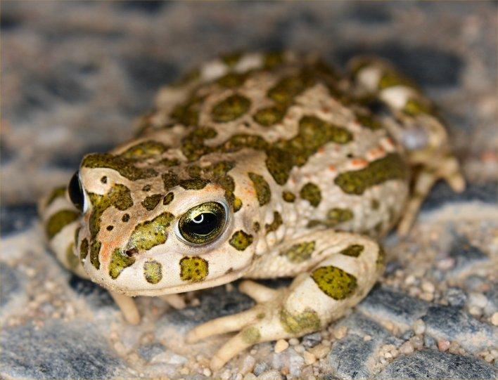 Im Tarnanzug: die Wechselkröte (Bufo viridis) Bild: K. Weddeling)