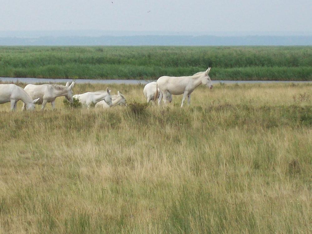Besuch bei den weißen Eseln