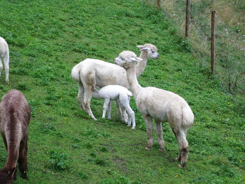Alpakafamilie am Wieserhof