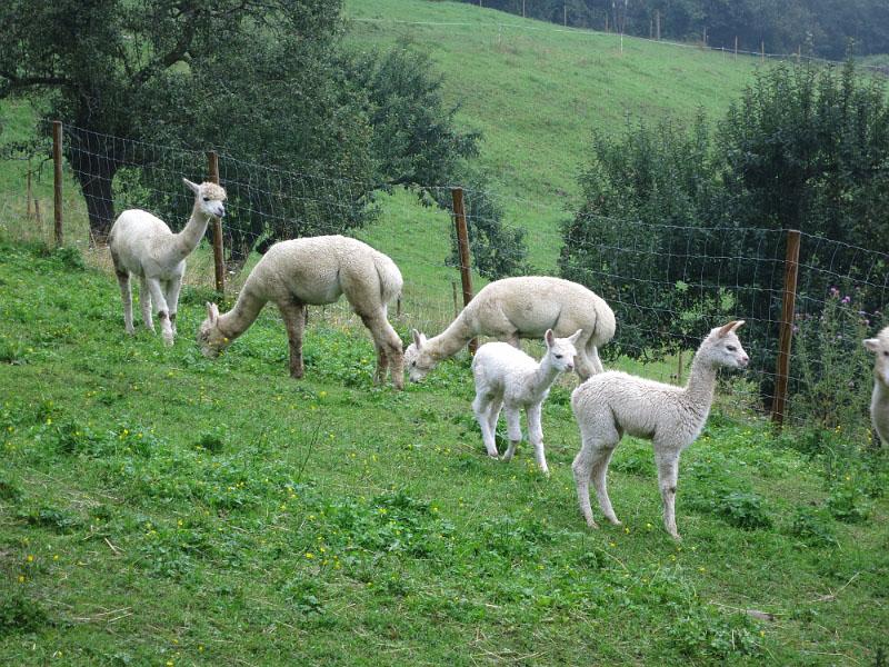 Alpakas am Wieserhof
