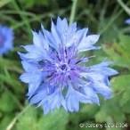 コーンフラワー:最高級のブルーサファイアの形容はこの花が由来