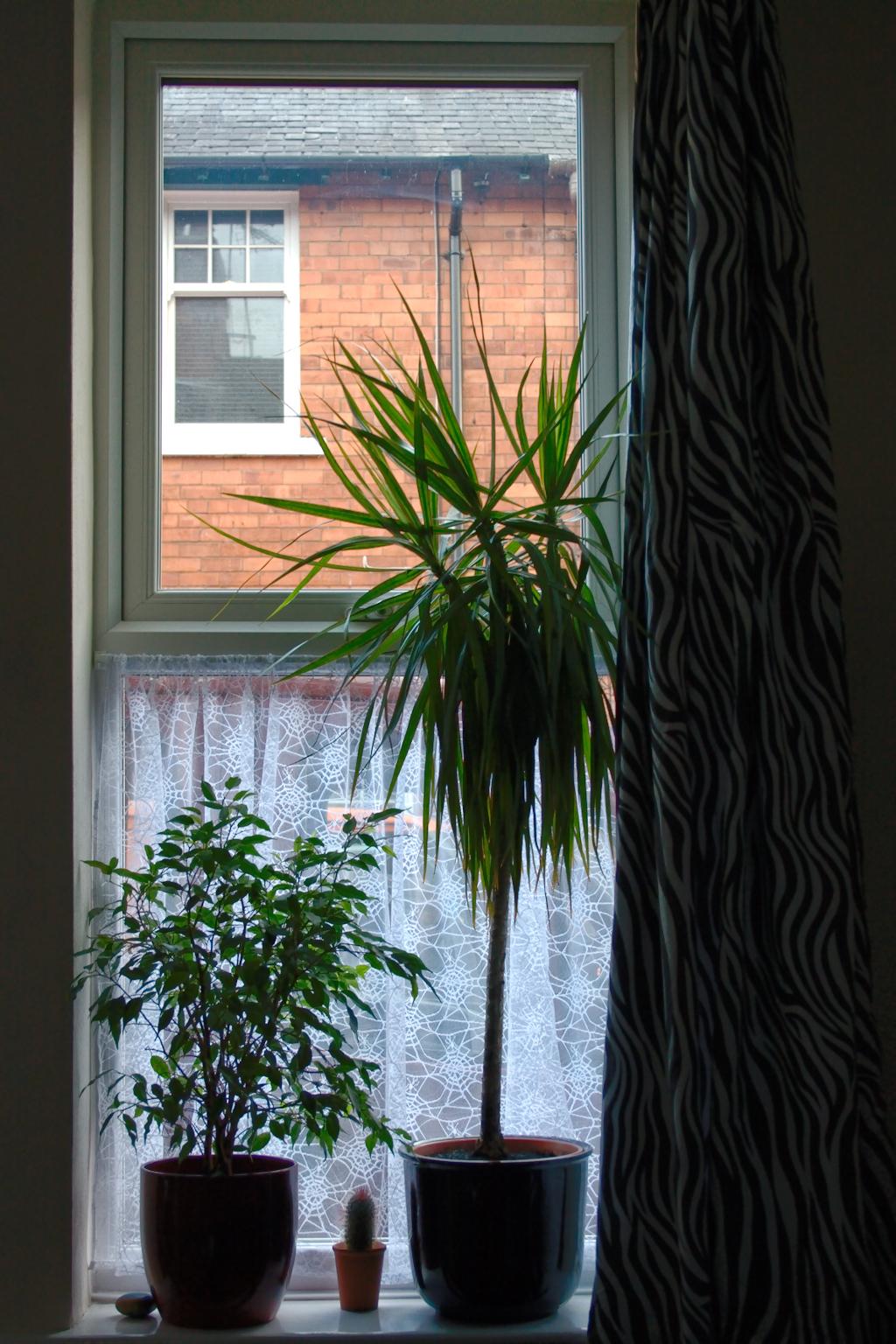 Zebravorhänge, Spinnennetz und Zimmerpflanzen - Wohnzimmerfenster - Zebraspider DIY Anti-Fashion Blog
