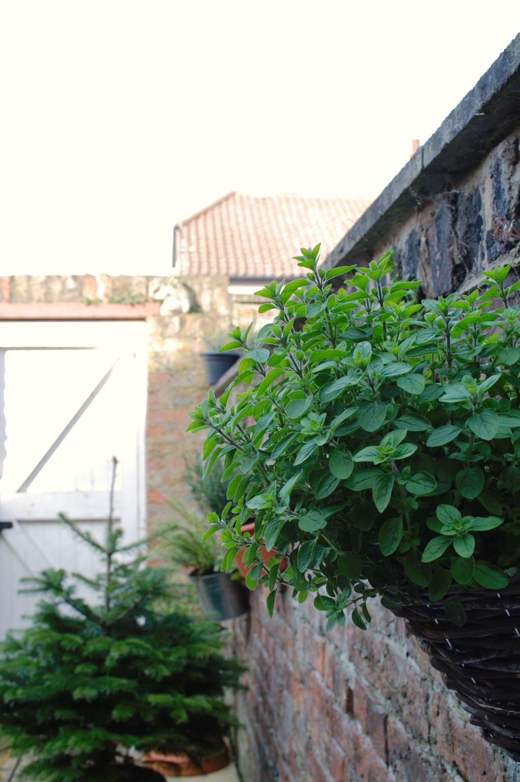 Mein englischer Garten - Oregano an der Mauer - Zebraspider DIY Anti-Fashion Blog