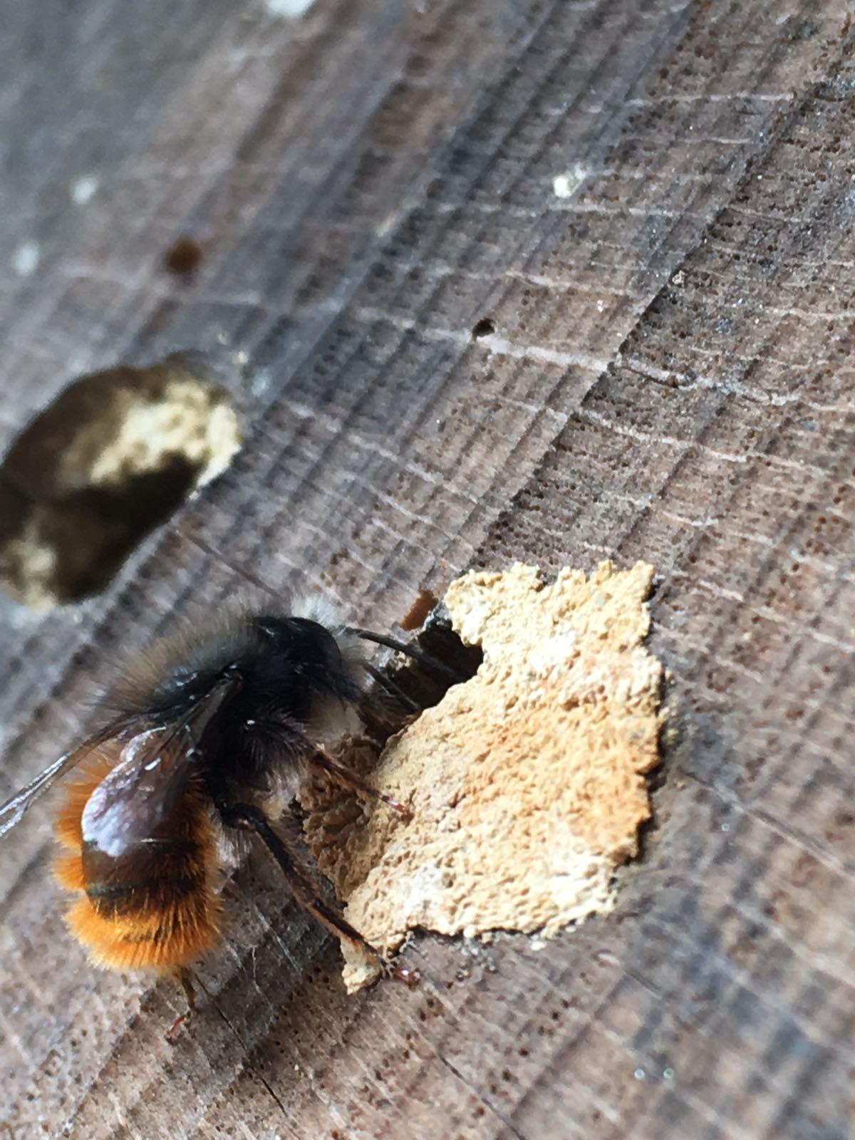 Mauerbienen sind jedes jahr gern gesehene Bewohner in unseren Insektenhotels