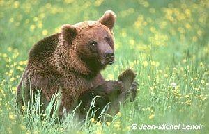 L'ours, symbole vivant de la nature sauvage