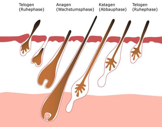 Haarwuchsphasen