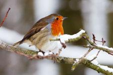 Un rouge-gorge au plumage gonflé