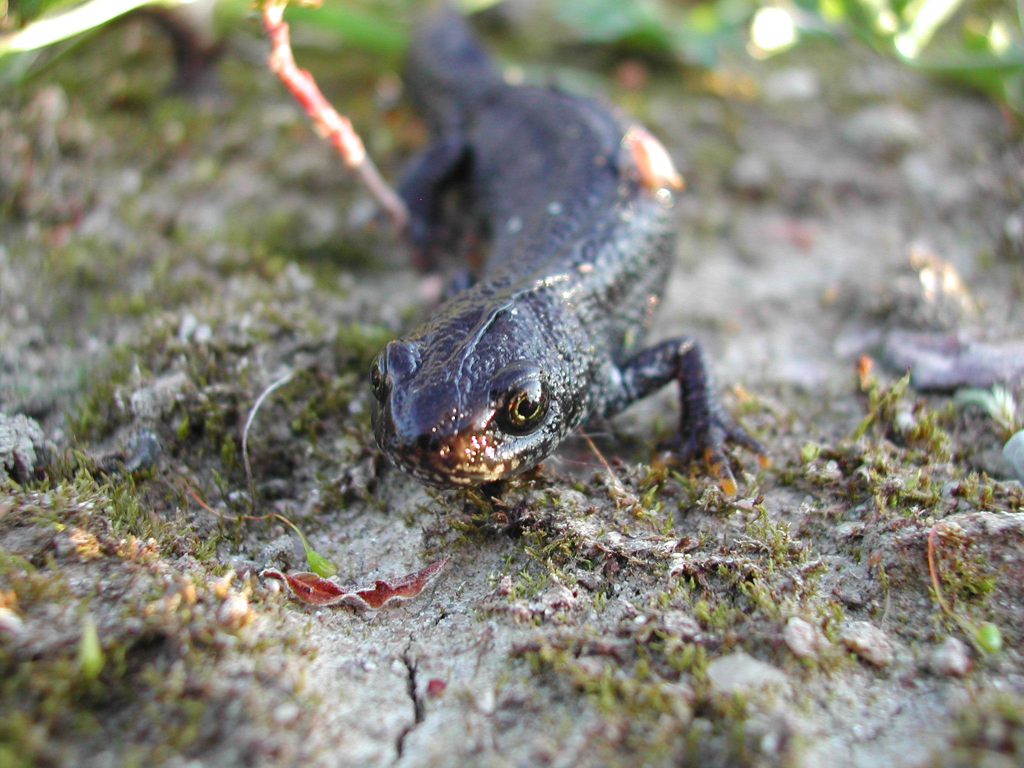 Der seltene Kammmolch ist im Sichelbruch ebenfalls stark vertreten. Foto: NABU/O. Klose