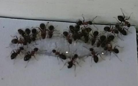 Wirkung des Ameisen- Gel  / Efficace de Gel anti-fourmis