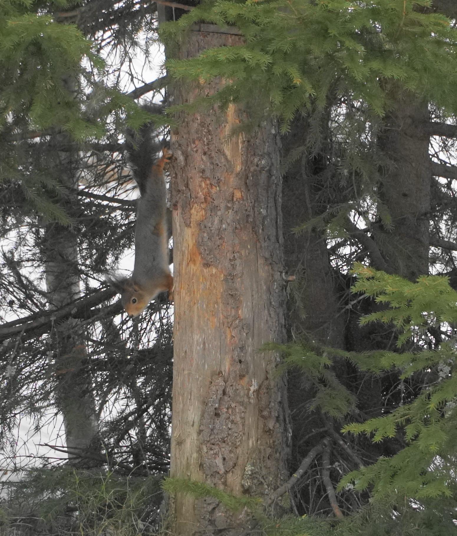 Kopfüber, für das Eichhörnchen kein Problem