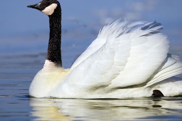 """Swan-Goose"" - SadieW"