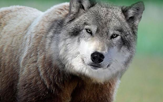 """""""Bear-Wolf"""" - SarahS"""